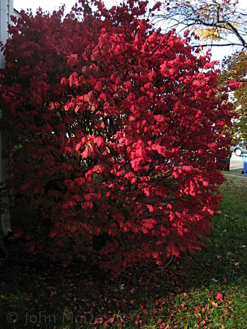 Burning_bush04